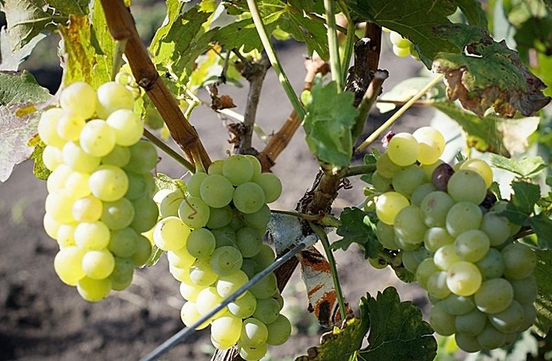 Сорт винограда алтайский край