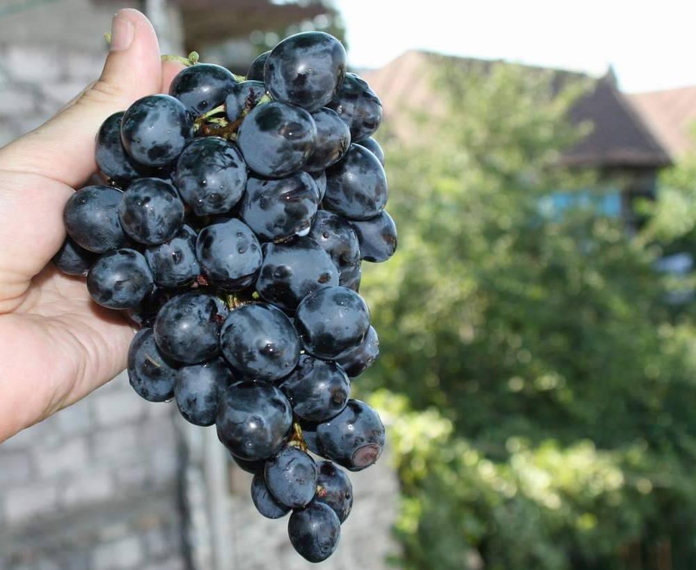 сорта винограда с фото для ростова на дону
