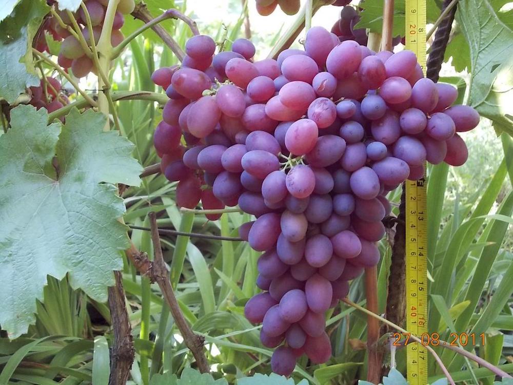 мебель виноград память домбров описание сорта фото отзывы приведенных ниже картинках