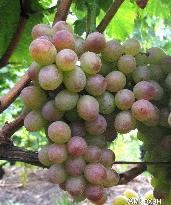 Фотографии винограда сорта Амирхан