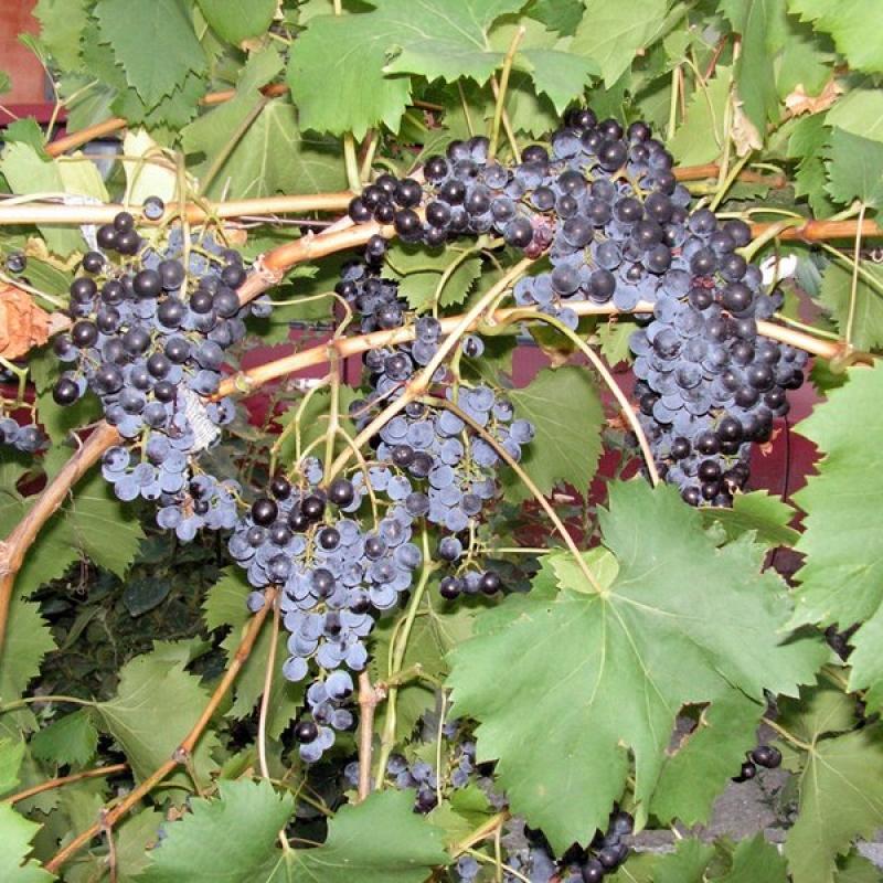 Фотографии винограда сорта Прима